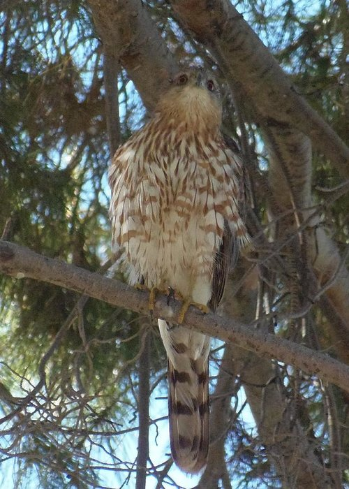 Greeting Card featuring the photograph Cooper Hawk See Me by Davon Duncan