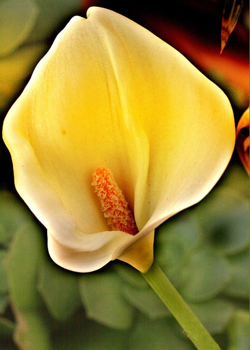 Calla Greeting Card featuring the photograph Core Of The Heart by Music of the Heart
