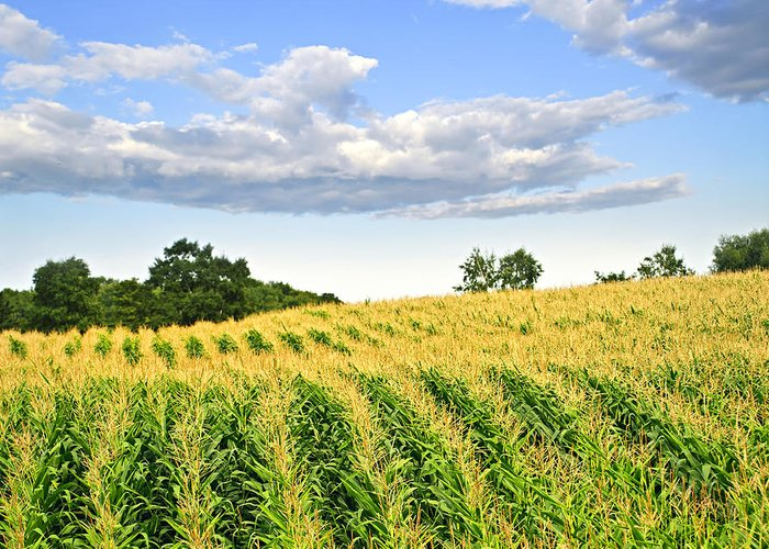 Agriculture Greeting Card featuring the photograph Corn Field by Elena Elisseeva
