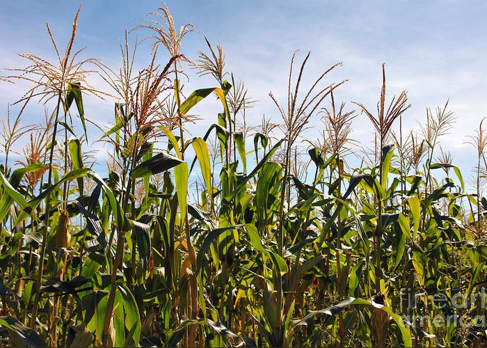Corn Greeting Card featuring the photograph Corn Production by Carlos Caetano