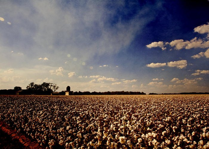 Cotton Greeting Card featuring the photograph Cotton Field by Scott Pellegrin