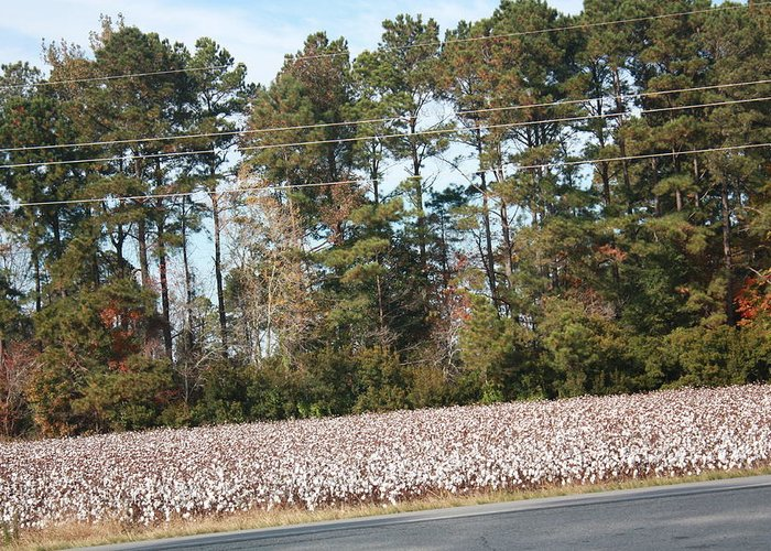 Landscape Greeting Card featuring the photograph Cotton Season by Charlene Harrelson