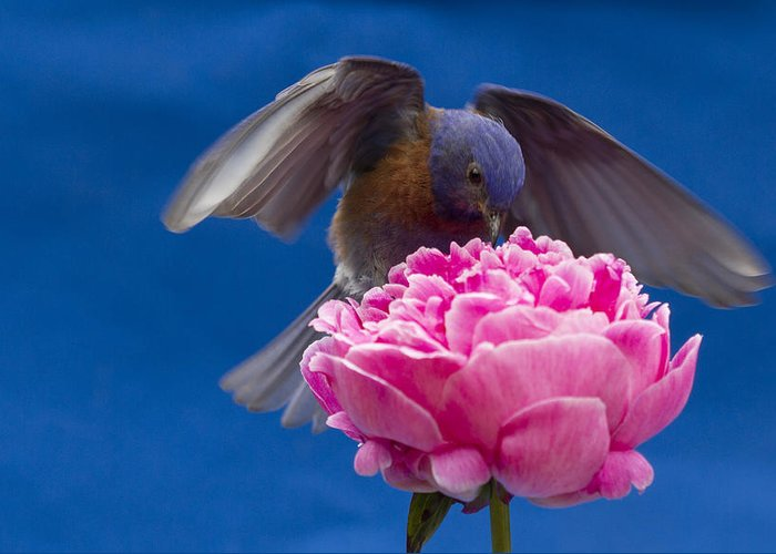 Animals Greeting Card featuring the photograph Count Bluebird by Jean Noren