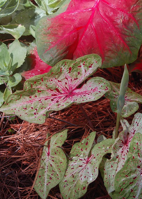 Caladium Greeting Card featuring the photograph Courtyard Caladium by Suzanne Gaff