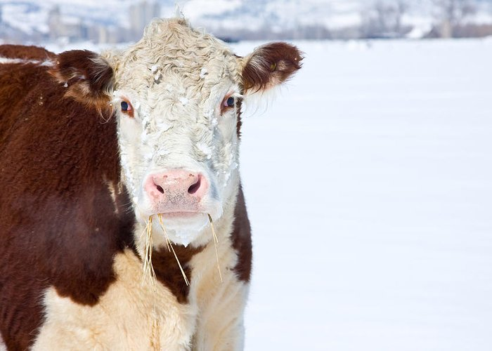 Cow Greeting Card featuring the photograph Cow - Fine Art Photography Print by James BO Insogna