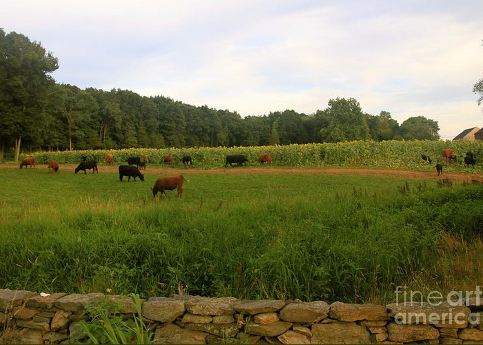 Cows Buttonwood Farm Sunflowers Field Grass Stonewall Summer Greeting Card featuring the photograph Cows At Buttonwood by Dorothy Drobney