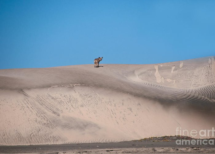 Animal Greeting Card featuring the photograph Coyote On Sand Dune by Mark Newman