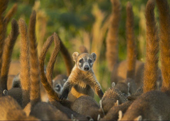 Kevin Schafer Greeting Card featuring the photograph Cozumel Island Coati Cozumel Island by Kevin Schafer