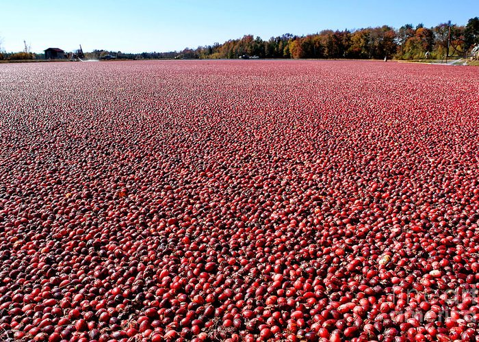 New Jersey Greeting Card featuring the photograph Cranberry Bog In New Jersey by Olivier Le Queinec