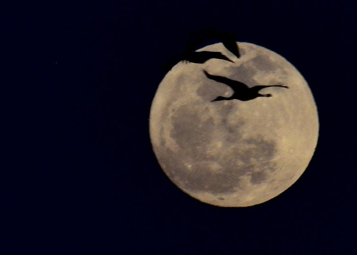 Cranes Greeting Card featuring the photograph Cranes Over The Moon by Joe Wicks