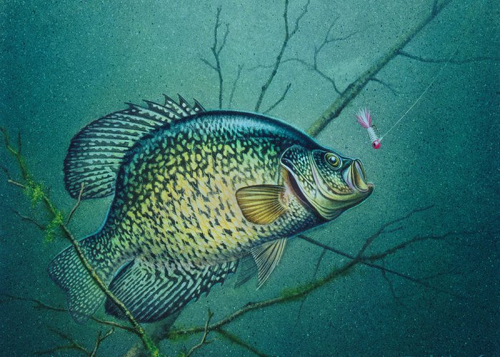 Crappie Greeting Cards