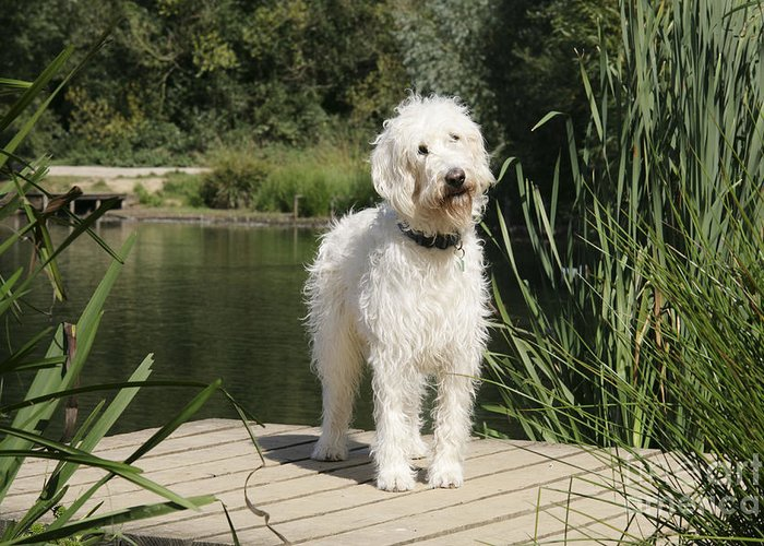 Labradoodle Greeting Card featuring the photograph Cream Labradoodle by John Daniels