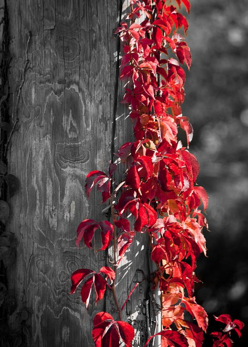 Virginia Creeper Greeting Card featuring the photograph Creeper On Pole Desaturated by Teresa Mucha