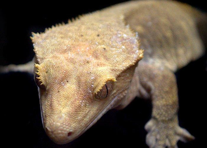 Crested Gecko Correlophus Ciliatus Greeting Card