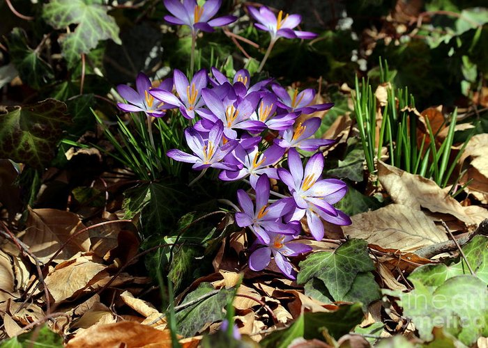 Crocus Greeting Card featuring the photograph Crocus Amongst The Leaf Litter by Kenny Glotfelty