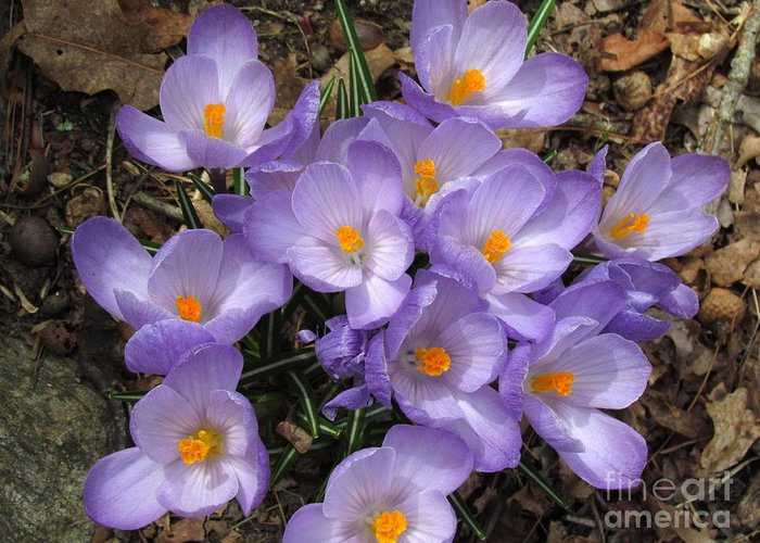 Purple Greeting Card featuring the photograph Crocus Cluster IIi by Lili Feinstein