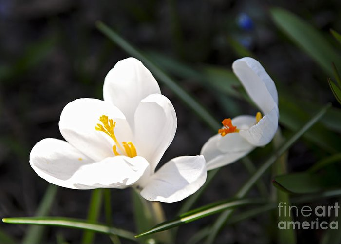 Crocus Greeting Card featuring the photograph Crocus Flower Basking In Sunlight by Elena Elisseeva