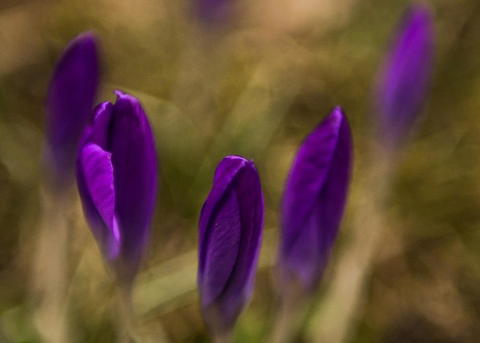 1x1 Greeting Card featuring the photograph crocus II - sun by Hannes Cmarits