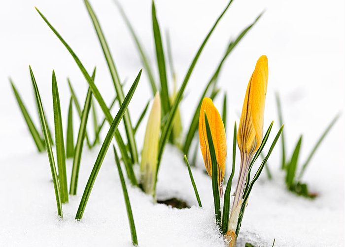Crocus Greeting Card featuring the photograph Crocuses In Snow by Elena Elisseeva
