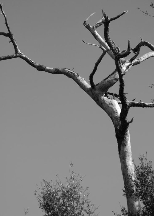 Crooked Tree Black And White Greeting Card featuring the photograph Crooked Tree Black And White by Warren Thompson