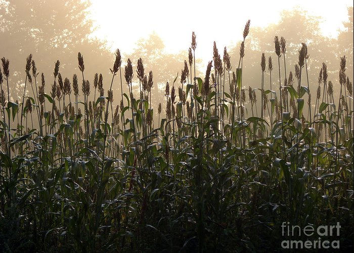 Corn Greeting Card featuring the photograph Crops In Fog by Olivier Le Queinec