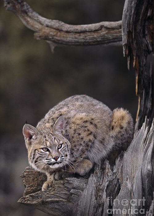 North America Greeting Card featuring the photograph Crouching Bobcat Montana Wildlife by Dave Welling