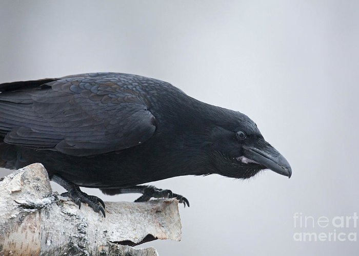 Raven Greeting Card featuring the photograph Crouching Raven by Tim Grams
