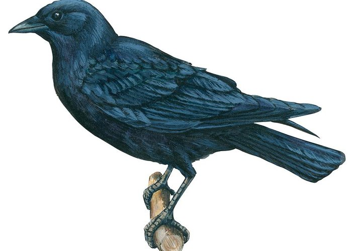 No People; Horizontal; Side View; Full Length; White Background; One Animal; Wildlife; Close Up; Zoology; Illustration And Painting; Bird; Branch; Perching; Beak; Feather; Crow; American Crow; Black Greeting Card featuring the drawing Crow by Anonymous