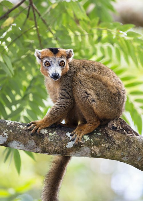 Feb0514 Greeting Card featuring the photograph Crowned Lemur Male Madagascar by Konrad Wothe