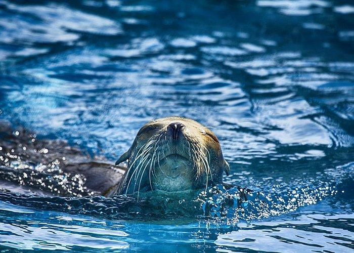Sea Lion Greeting Card featuring the photograph Cruisin by Douglas Barnard