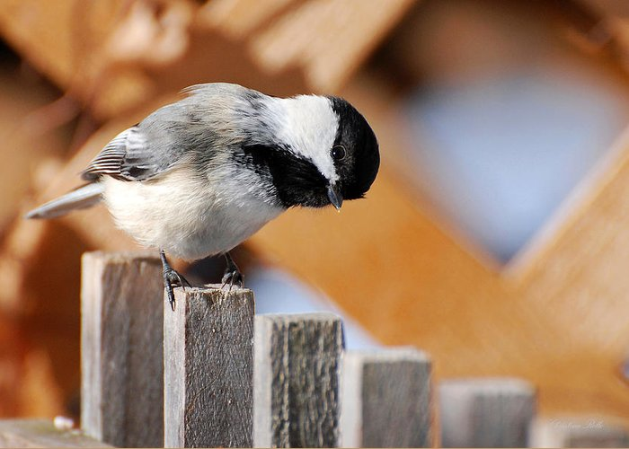 Bird Greeting Card featuring the photograph Curious Chickadee by Christina Rollo