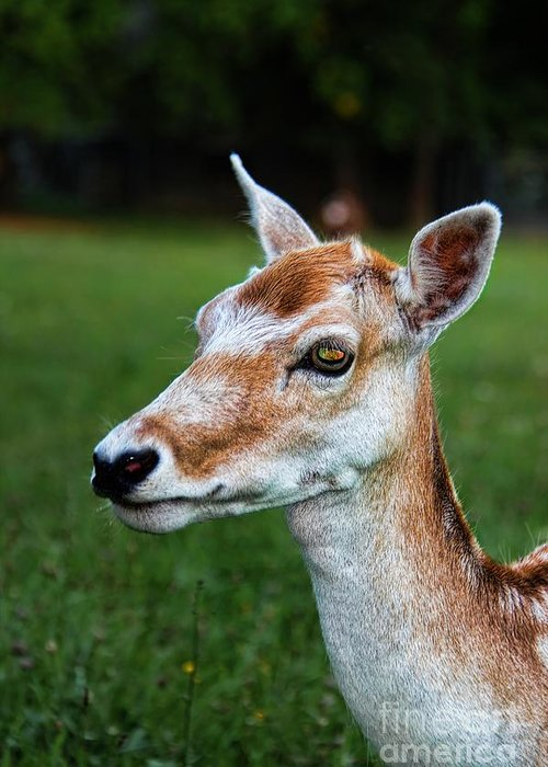 Wild Deer Greeting Card featuring the photograph Curious Doe by Mariola Bitner