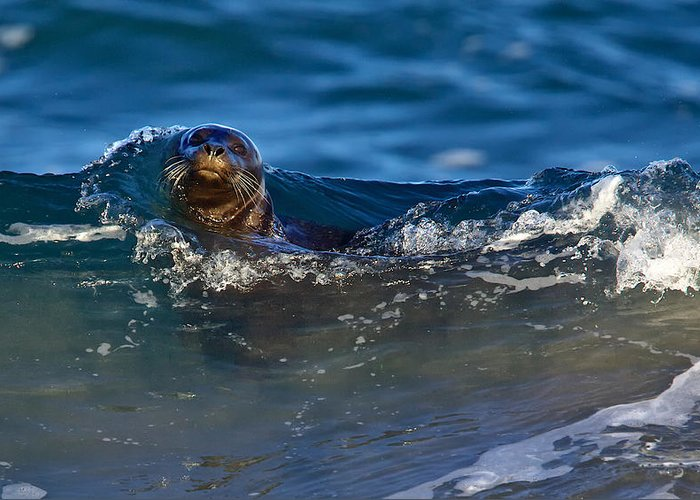 Harbor Seal Greeting Card featuring the photograph Curious Harbor Seal by Julie Chen