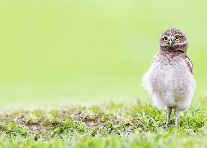 Owlet Greeting Card featuring the photograph Curious Owlet by Mlorenzphotography