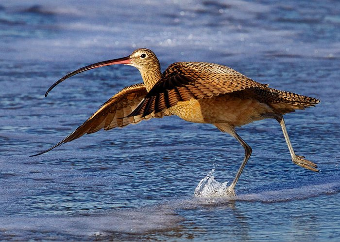 Curlew Greeting Card featuring the photograph Curlew Preparing For Take Off by Julie Chen
