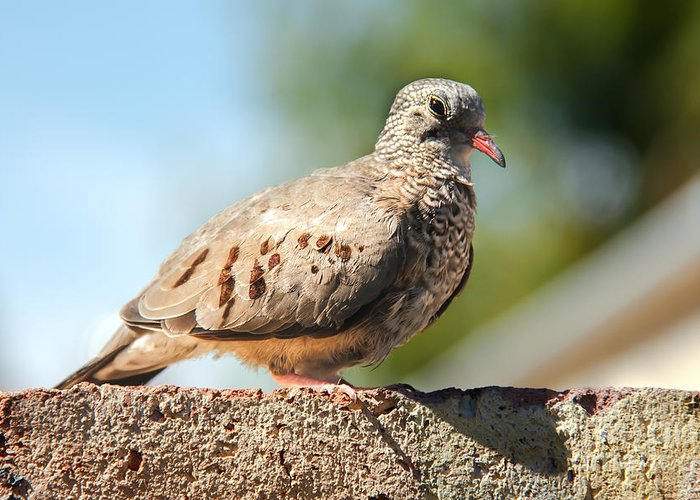 Bird Greeting Card featuring the photograph Cute Inca Dove by Robert Bales