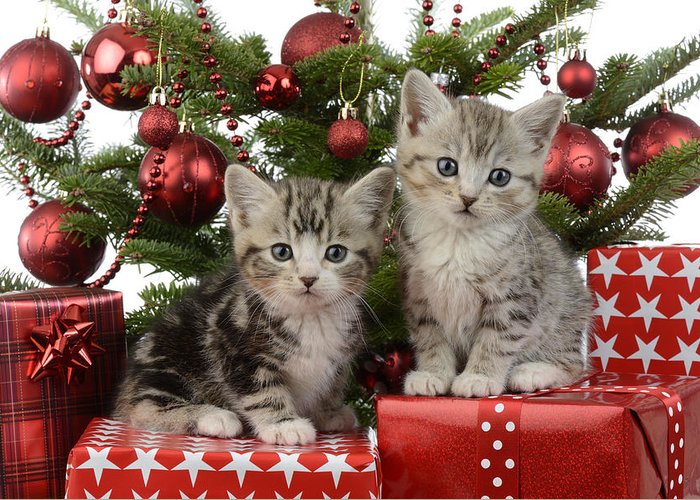 Kitten Christmas Cards.Cute Kitten Xmas Presents Greeting Card