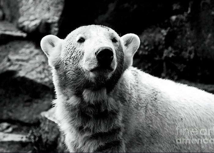 Cute Knut Greeting Card featuring the photograph Cute Knut by John Rizzuto