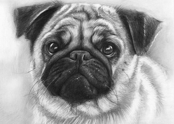 Dog Greeting Card featuring the drawing Cute Pug by Olga Shvartsur