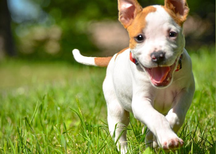 Dog Greeting Card featuring the photograph Cute Stafford Puppy Running On Field by Aleksandar Mijatovic