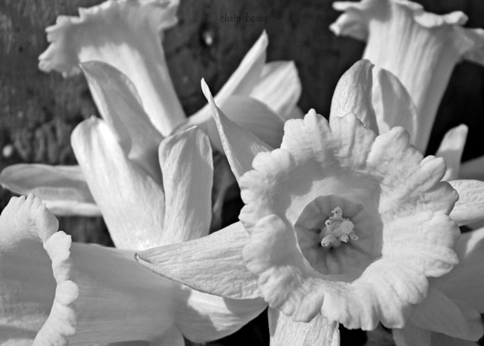 Narcissus Greeting Card featuring the photograph Daffodil Monochrome Study by Chris Berry