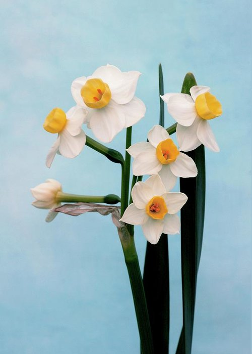 Narcissus Avalanche Greeting Card featuring the photograph Daffodil (narcissus 'avalanche') by Brian Gadsby/science Photo Library