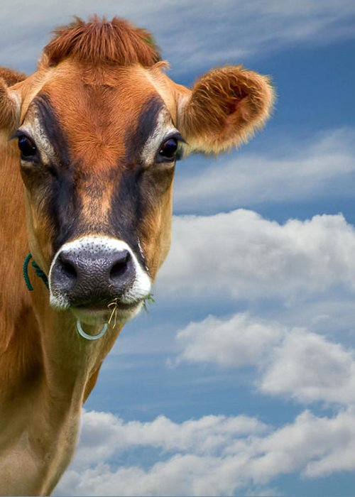 Cow Greeting Card featuring the photograph Dairy Cow Bessy by Bob Orsillo