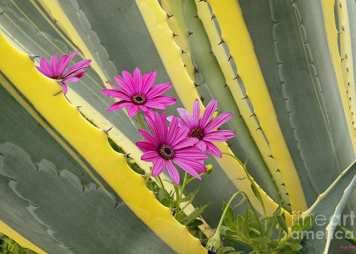 Easter Sunday Flowers 2013 Greeting Card featuring the photograph Daisies And Cactus by Kenny Bosak