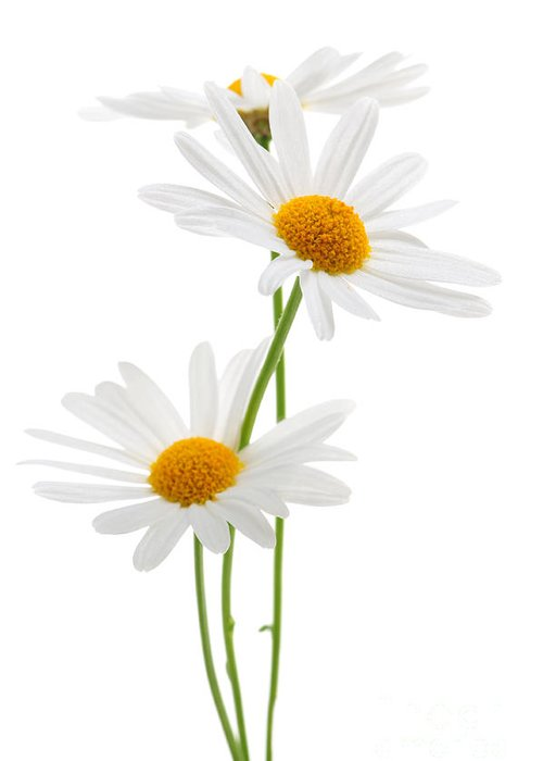 Daisy Greeting Card featuring the photograph Daisies On White Background by Elena Elisseeva