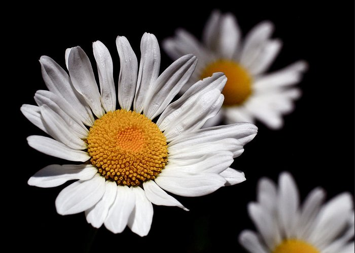 Daisies Greeting Card featuring the photograph Daisies by Rona Black