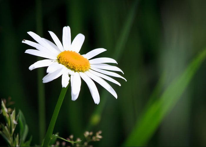 Flower Greeting Card featuring the photograph Daisy - Bellis Perennis by Bob Orsillo