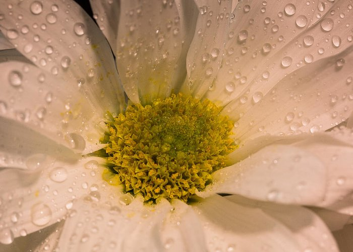 Macro Greeting Card featuring the photograph Daisy Closeup by Betsy A Davis
