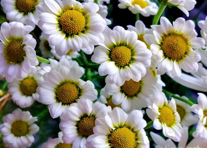 Daisy Greeting Card featuring the photograph Daisy Daisy by Lisa Byrne