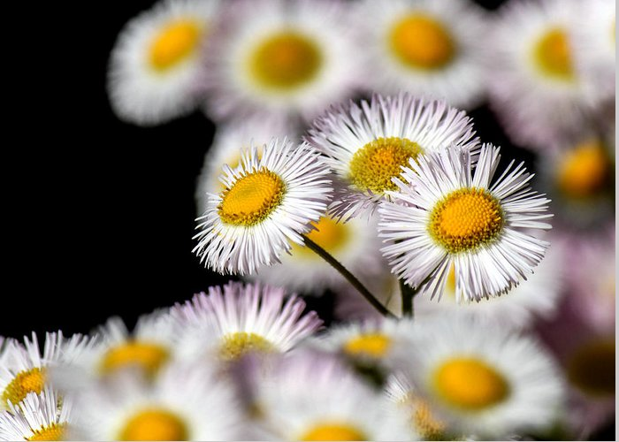 Nature Greeting Card featuring the photograph Daisy Fleaban by Frank Selvage